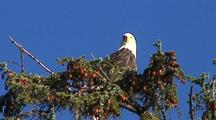 Bald Eagle In A Sitka Spruce Tree