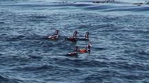 Harlequin Ducks In The Ocean