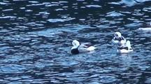 Long-Tailed Ducks (Oldsquaw)