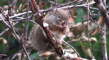 A Squirrel Eating Alder Tree Cones (Rare Occurance)