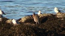 Great Blue Heron & Gulls On A Kelp Covered Beach.