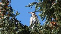 Great Blue Heron In A Sitka Spruce Tree