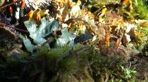Lichen, Shore Pine, Sphagnum Moss