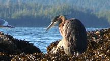 Heron And Gulls Preening On A Kelp Beach With A Fishing Boat In The Background