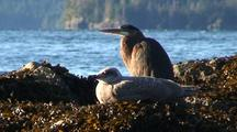 Heron And Gulls On A Kelp Beach