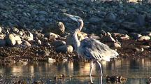 Herons Dancing & Walking On A Rocky  Beach.