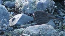 Sparrow Looking For Food On A Rocky  Beach.
