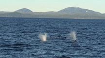 Humpback Whales Spouting.