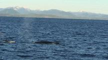 Humpback Whales Swimming, Diving