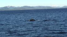 Humpback Whales In Sitka Sound.