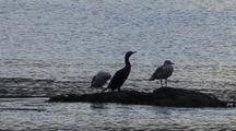 Cormorant And Gulls Waiting Out A Storm.