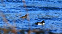 A Pair Of Barrow's Goldeneye