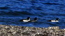 Barrow's Goldeneye Moving Along A Shoreline.