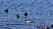 Barrow's Goldeneye And Scaups Feeding