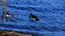 Barrow's Goldeneye  Feeding