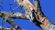 Downey Wood Pecker Pecking On A Tree