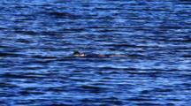 Male Merganser  Duck Watches Over It's Dead Mate