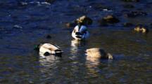 Mallard Ducks Feeding. Scaups In Background
