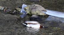 Mallard Ducks Feeding In A Icy Stream