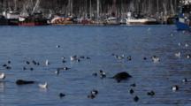 Multitude Of Ducks In A Harbor