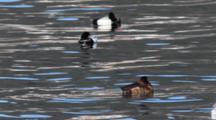 Scaup Ducks