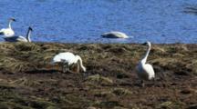 Trumpeter Swans Feeding