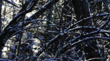 Alpine Weather- Snow On Branches