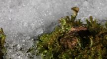 Alpine Weather- Close-Up Of Snow On Lichen & Moss