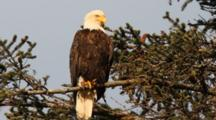 Bald Eagle In A Spruce Tree