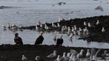 Bald Eagles, Gulls, Feeding On Pacific Herring