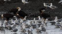 Pan Of Bald Eagles & Gulls Eating Herring