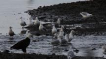Pan Of Bald Eagles & Gulls