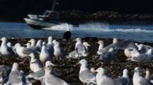 Small Sport Fishing Boat, Bald Eagle, Ravens & Gulls