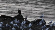 Bald Eagle And Gulls