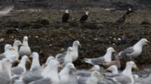 Bald Eagles And Gulls