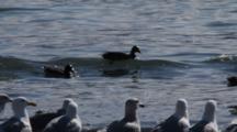 Ducks & Gulls