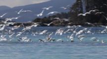 Gulls Chasing Pacific Herring