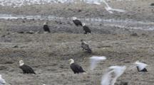 Bald Eagles And Gulls On Beach
