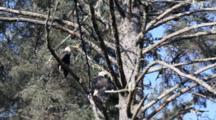 Tilt Up Tree Full Of Bald Eagles