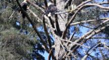 Tilt Op Tree To Reveal Many  Bald Eagles