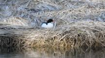 Male Merganser Rests On Shore (Nest?)