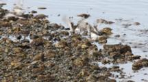 Flocks Of Shore Birds
