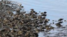 Flocks Of Shore Birds- Sandpipers, Dunlins