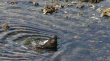 Shore Birds- Sandpipers- Bathing