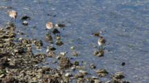 Shore Birds- Sandpipers- Feeding