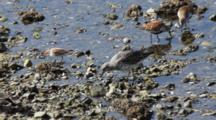Shore Birds- Sandpipers & Dunlin- Feeding