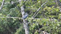 King Fisher In Tree