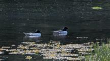 Pair Of Merganser Ducks On Water