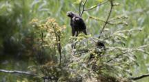 Starlings Preen In Tree