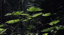 Devils Club In A Dark Forest